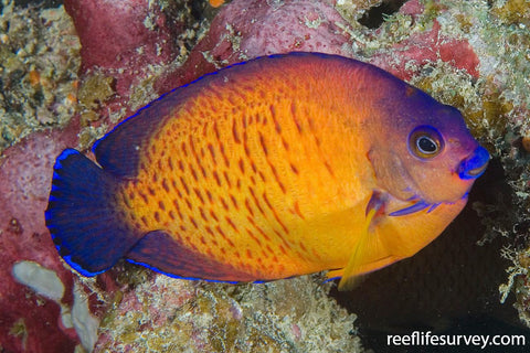 Coral Beauty Angel (Centropyge bispinosa) Fiji