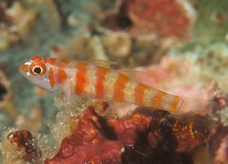 Orange band trimma goby