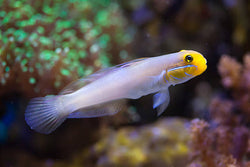 Sleeper (Gold) Yellow Head Goby - Valenciennea strigata