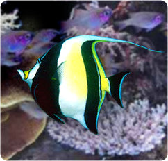 Moorish Idol Angel