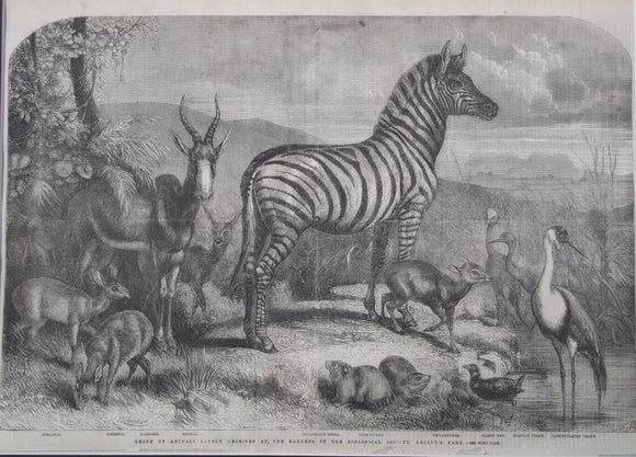THE ILLUSTRATED LONDON NEWS - Group of Animals, Regents Park