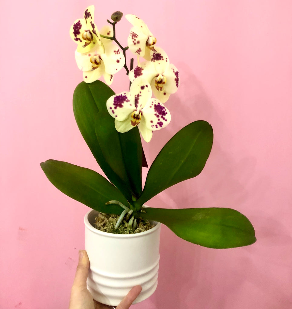 mini potted orchids