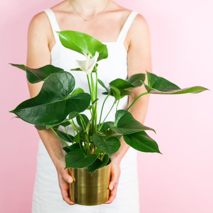 Anthurium Plant Melbourne