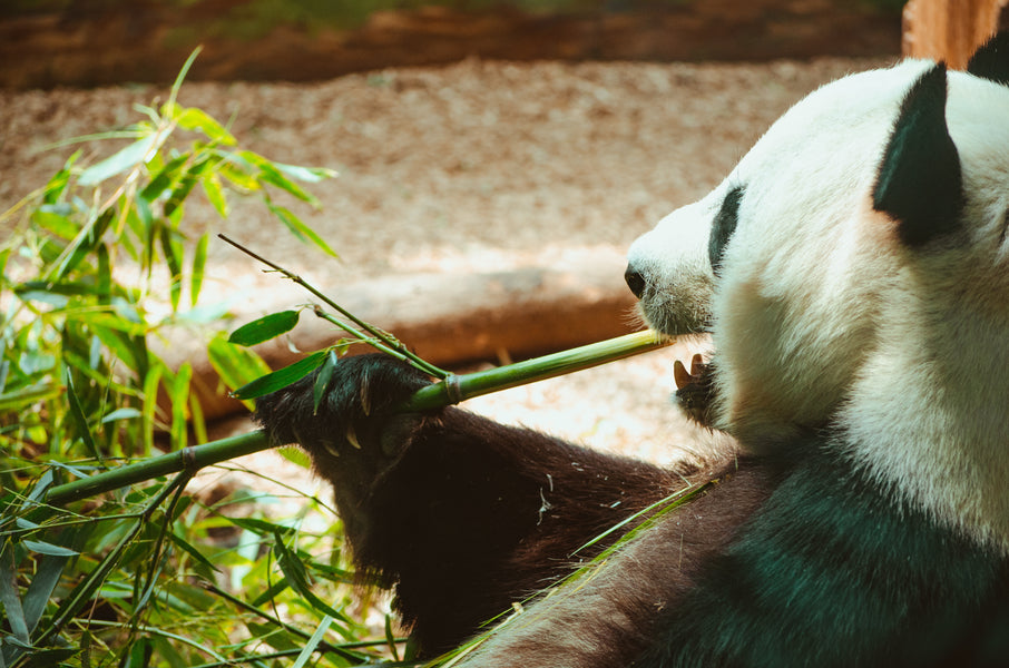 How much do you know about Panda Bears?