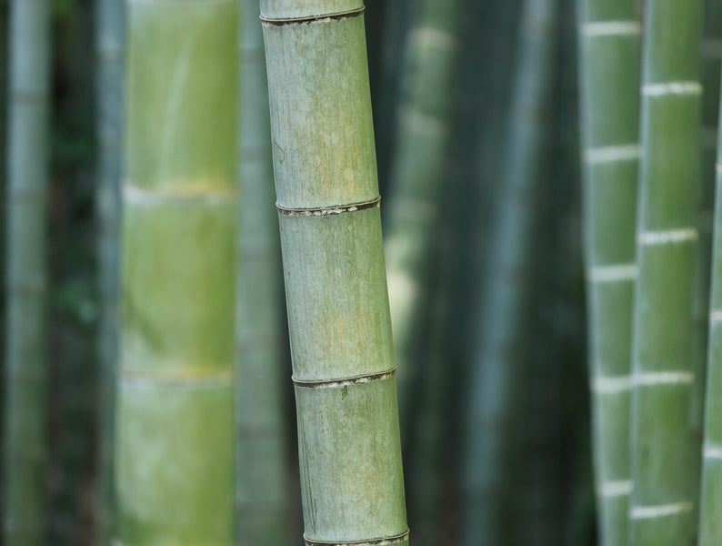 <p><strong> The reality of Moso Bamboo: the plant that suits your life and the environment.</strong></p> <p> </p>