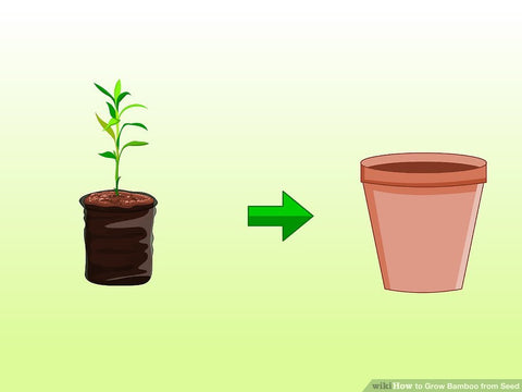 grow bamboo brushboo 12