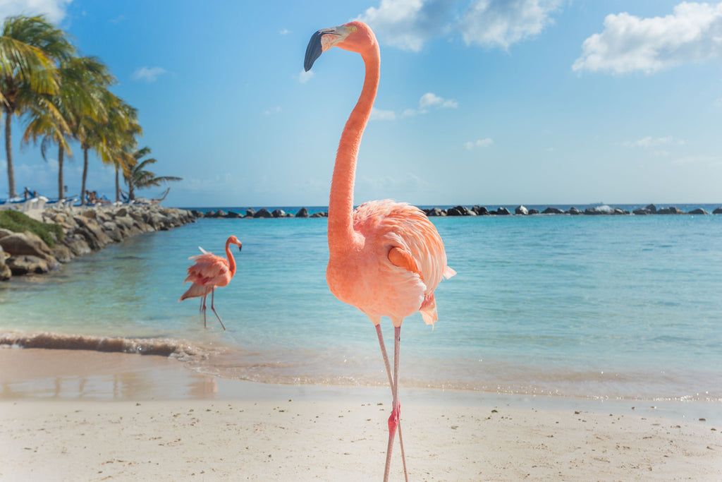 flamingo in aruba beach