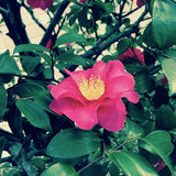 green waxy leaves and hot pink camellia