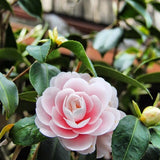 perfect pink camellias against green leaves kyoto japan