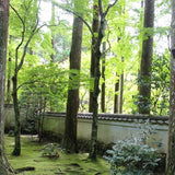 tall green trees and moss at Kyoto temple