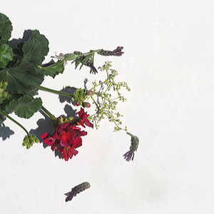 Fresh flowers of lavender, red geranium, cow parsley on white background