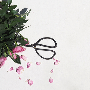Fresh pink petals next to rose plant and pair of black vintage scissors on white background