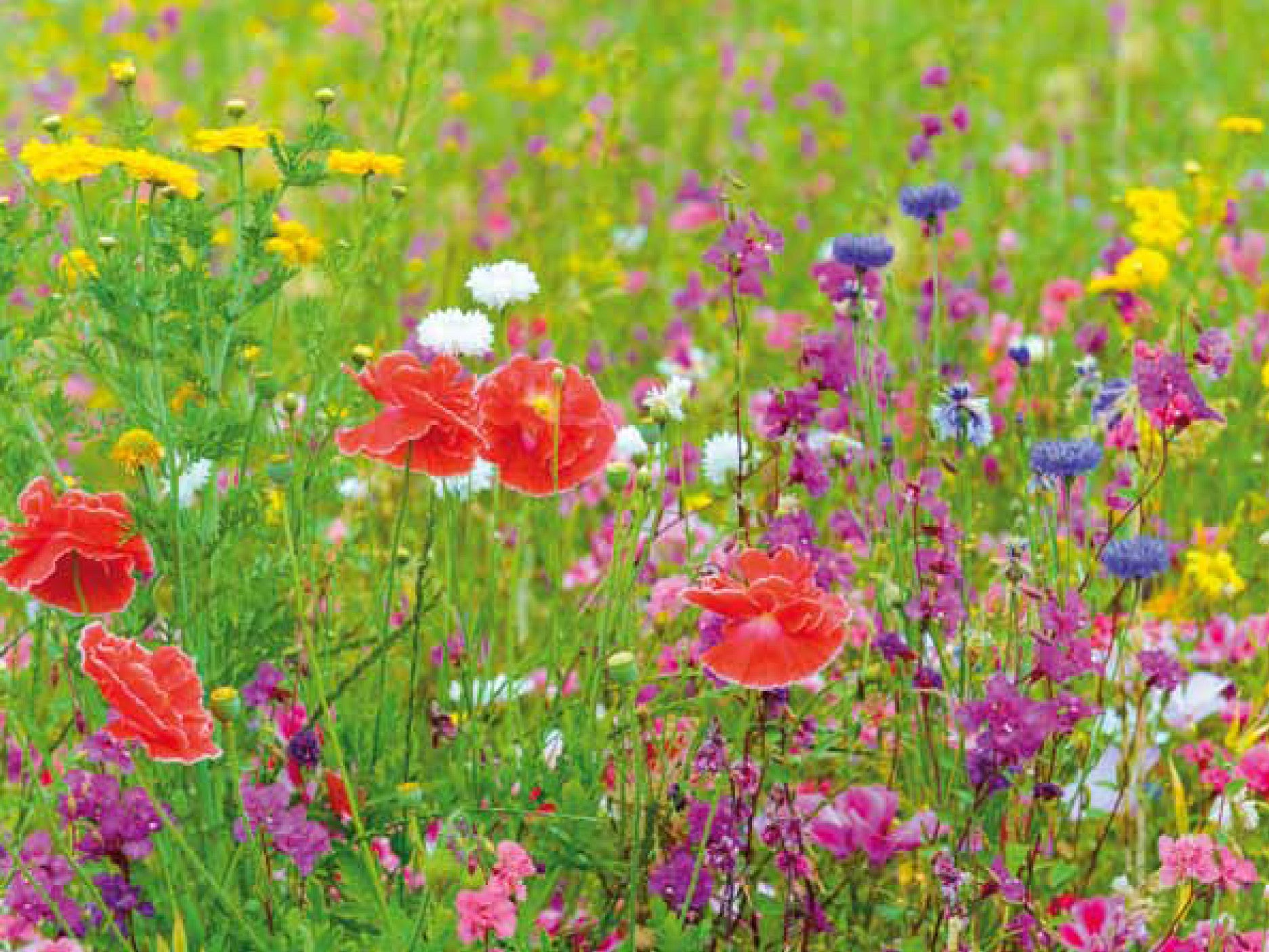 Fiesta De Flores Multicolor Flower Meadow