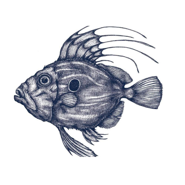 John Dory Art Print In Blue On White In Three Sizes - A2, A3 And A4 -Accessories- Cream Cornwall