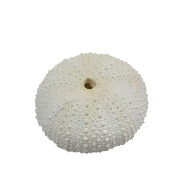 Resin Sea Urchins -Accessories- Cream Cornwall