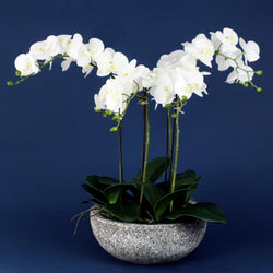 White Orchid Plant In Aged Stone Effect Pot -Accessories- Cream Cornwall