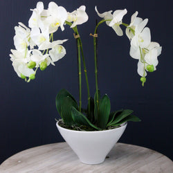 White Phalaenopsis Orchid In White Pot -Accessories- Cream Cornwall