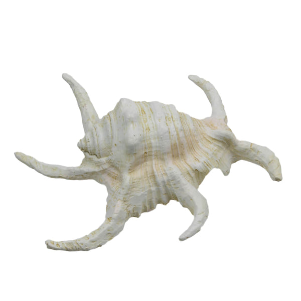 Resin Hermit Crab -Accessories- Cream Cornwall