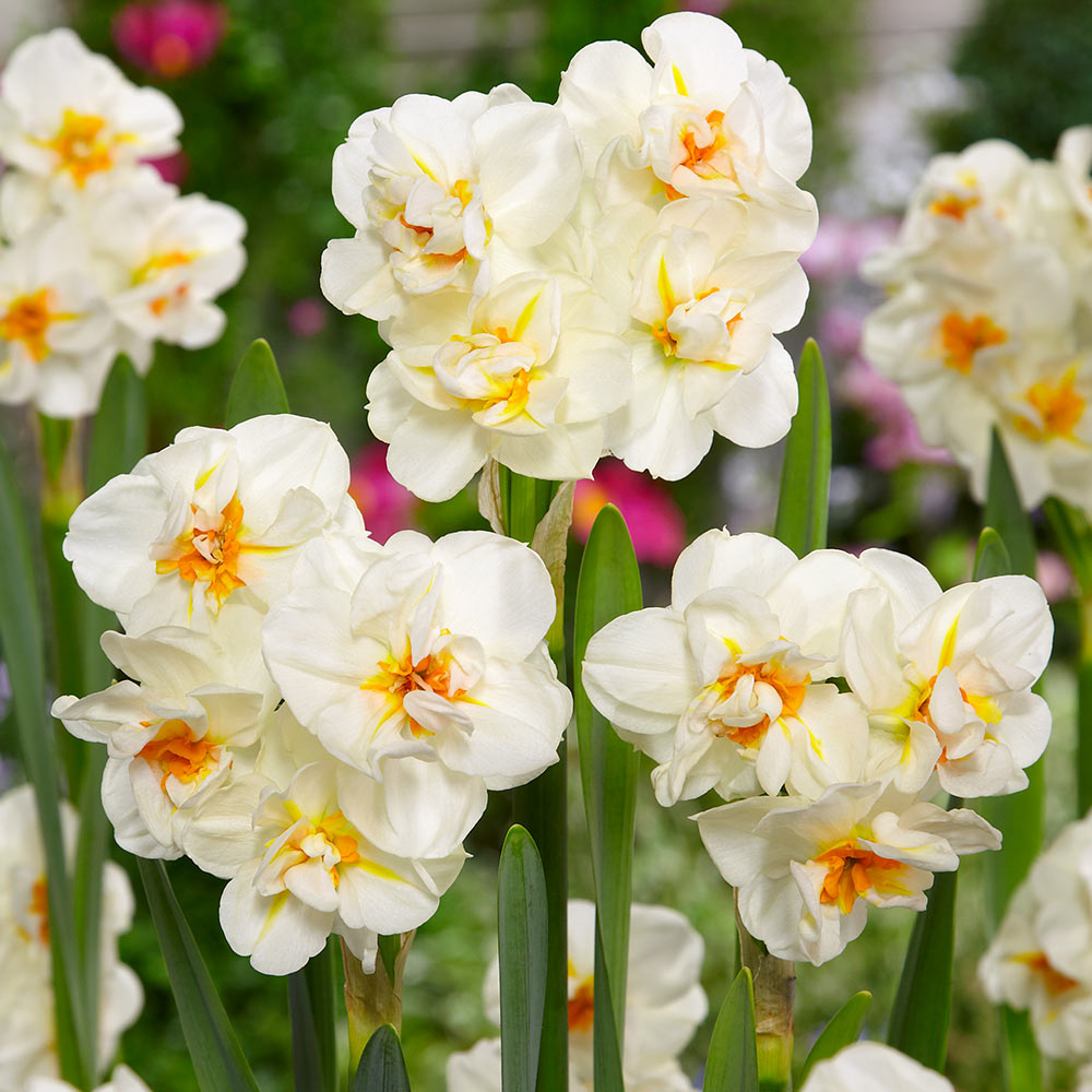 Daffodil-Sir Winston Churchill