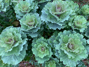 Flowering Cabbage-Green Ruffle