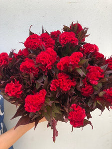Celosia Ball-Red