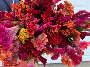 Celosia Crest-Rainbow Mix