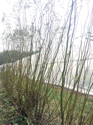Woodies: Curly Willow