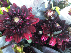 Dahlia Regular-Chocolate
