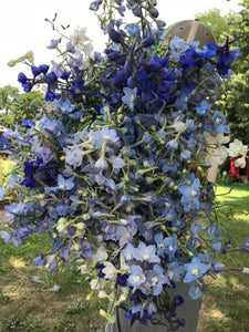 Delphinium-Belladonna Light Blue