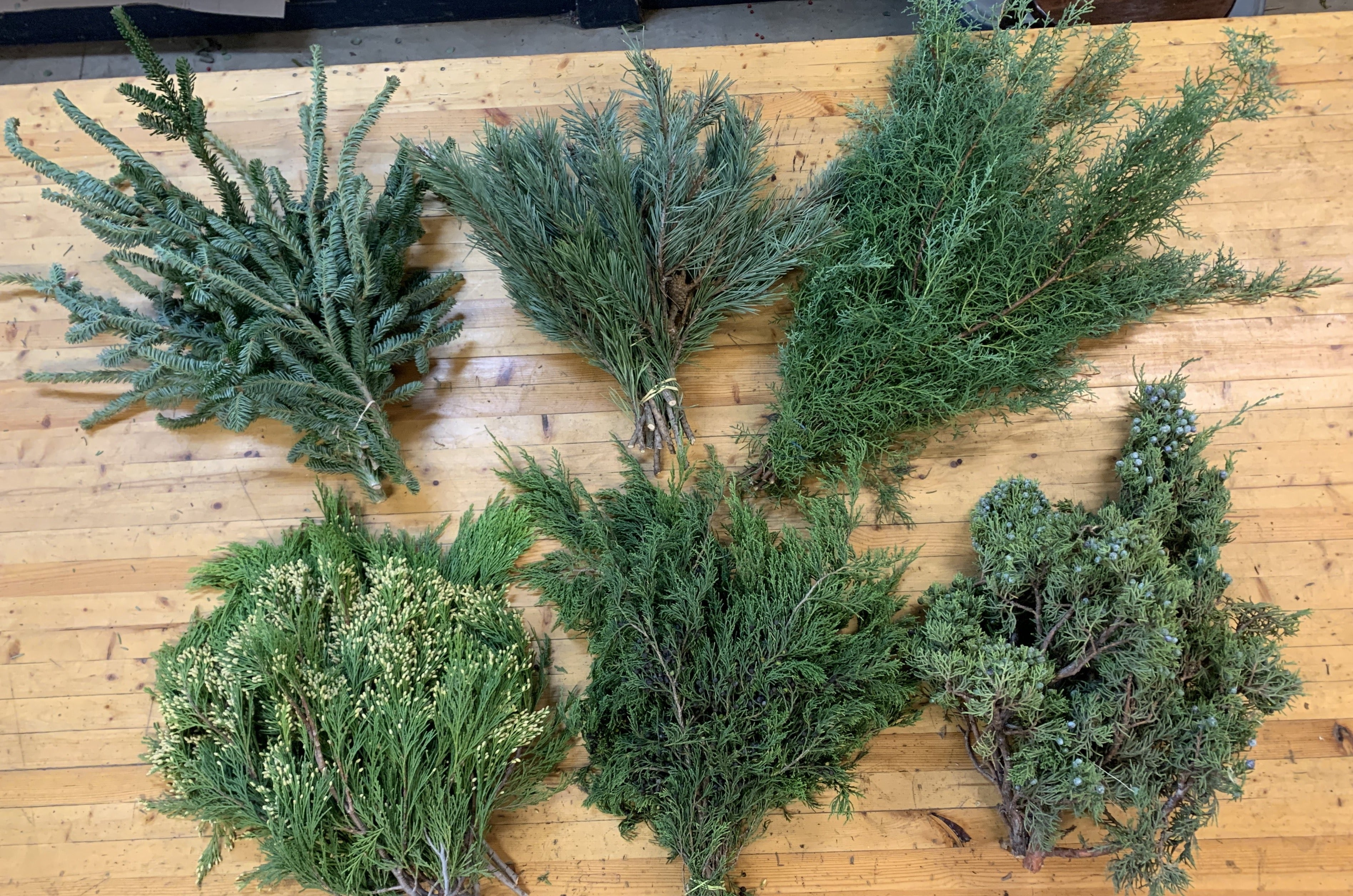 Evergreens Bundle-Scotch Pine