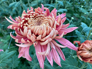 Heirloom Mum-Disbud Quarterback