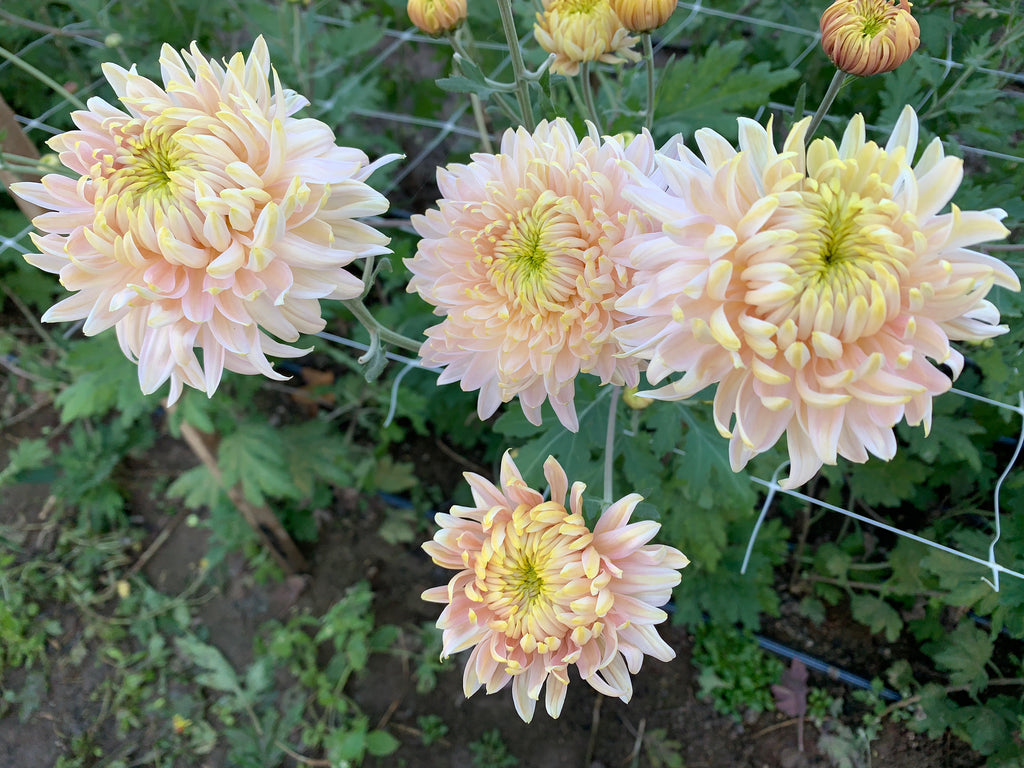 Heirloom Mum Disbud-Blush Seaton's J'adore