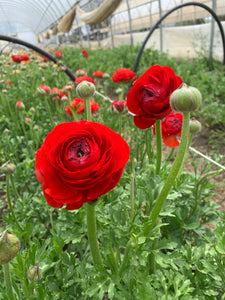 Ranunculus-Red