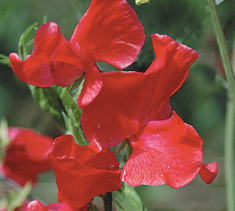 Sweet Pea - Red