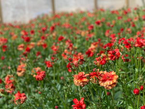 Butterfly Ranunculus-Red