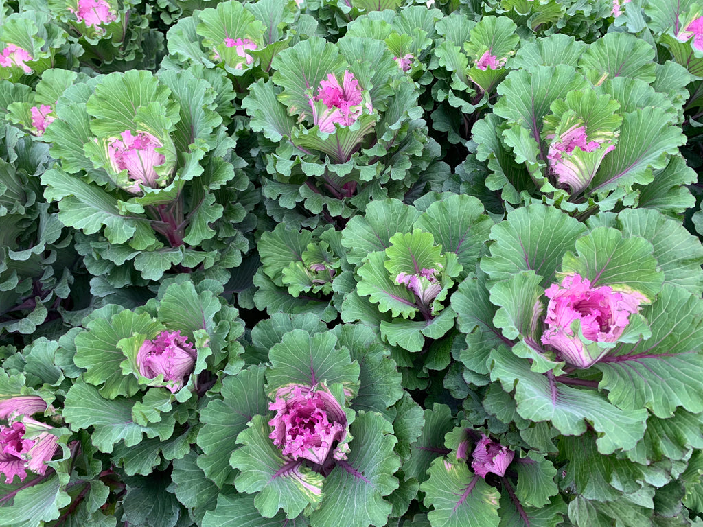 Flowering Cabbage-Lavender Ruffles Small