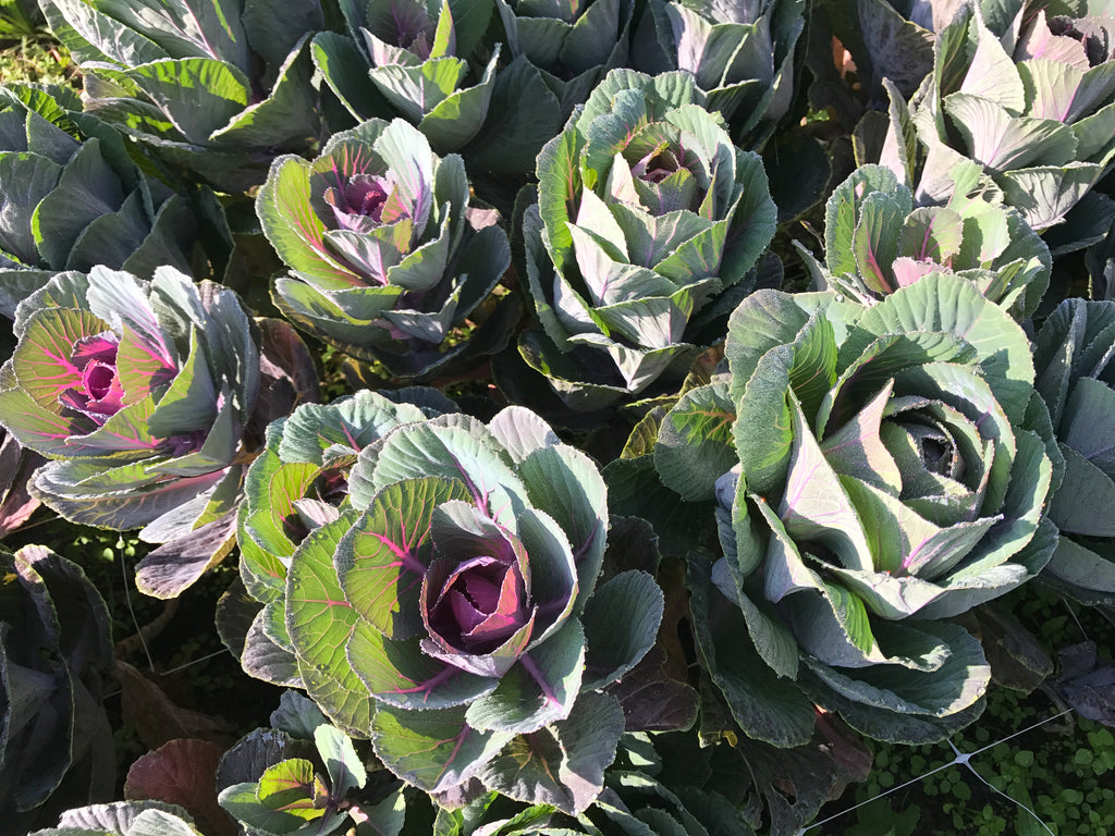 Flowering Cabbage-Purple Small