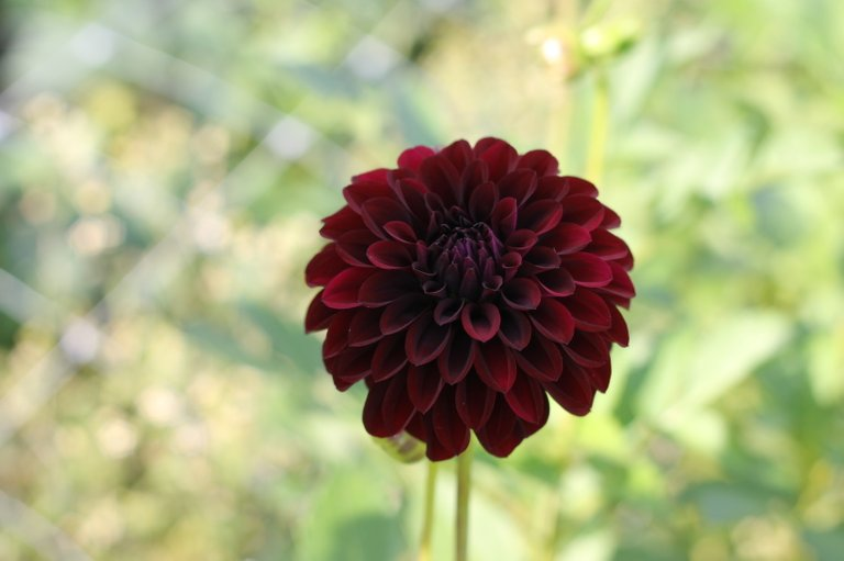 Dahlia Button-Black Satin