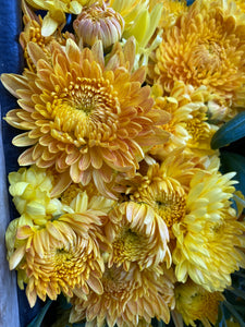 Heirloom Mum Disbud-Gold Country