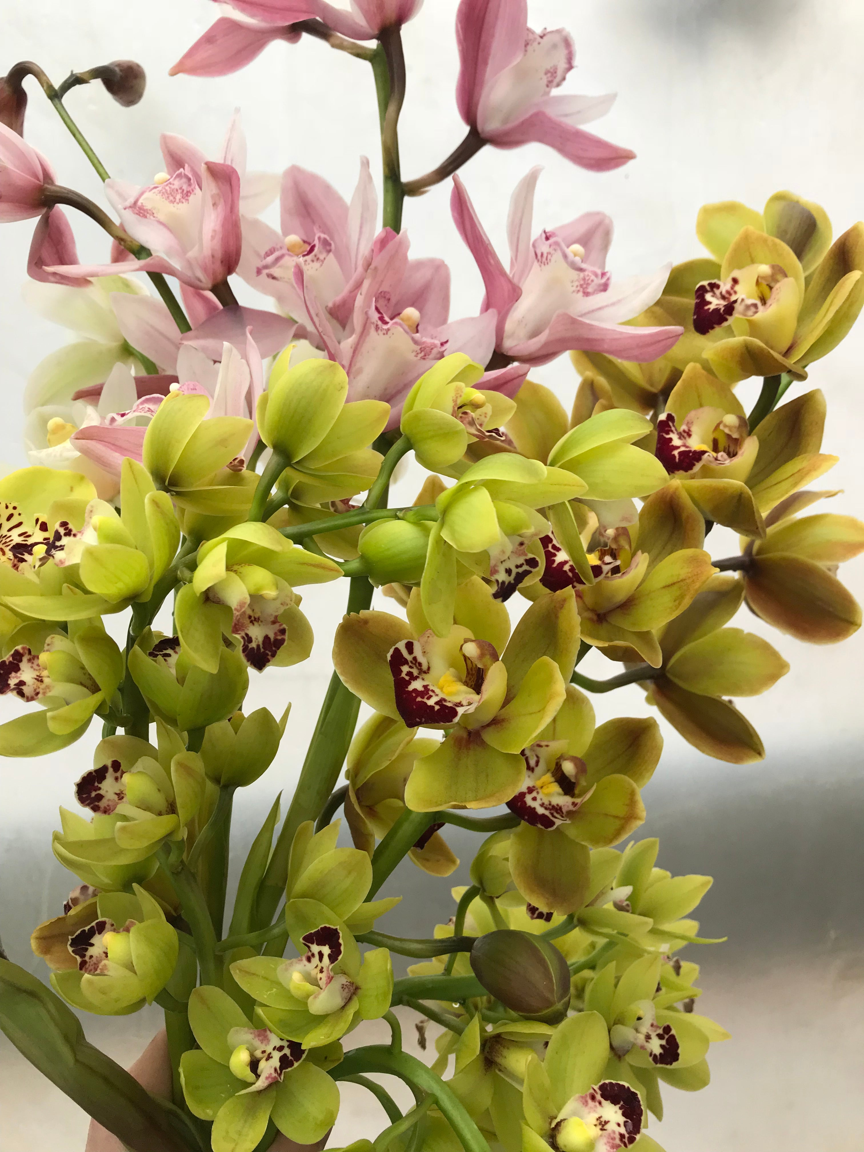 Cymbidium Orchid-Blush