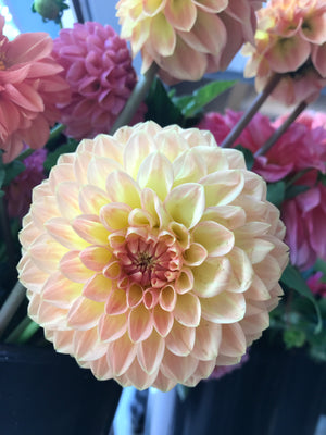 Dahlia Regular-Suncrest