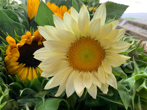 Sunflower-White Lite
