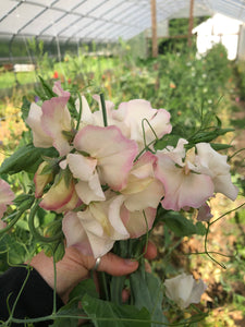 Sweet Pea-Blush