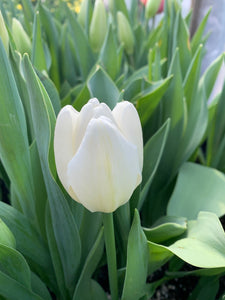 Tulip-Clearwater