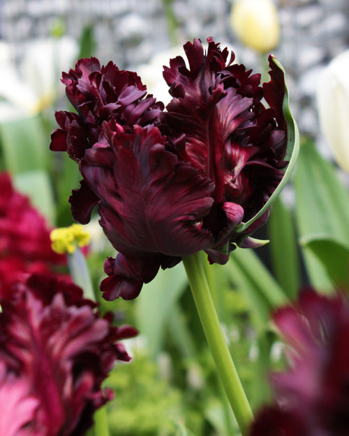 Grower's Design Pull-Bold and Dark