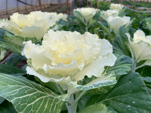 Flowering Cabbage-White