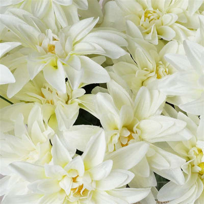 56 Dahlia Bushes - Cream