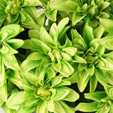 56 Dahlia Bushes - Lime Green( Sold Out )