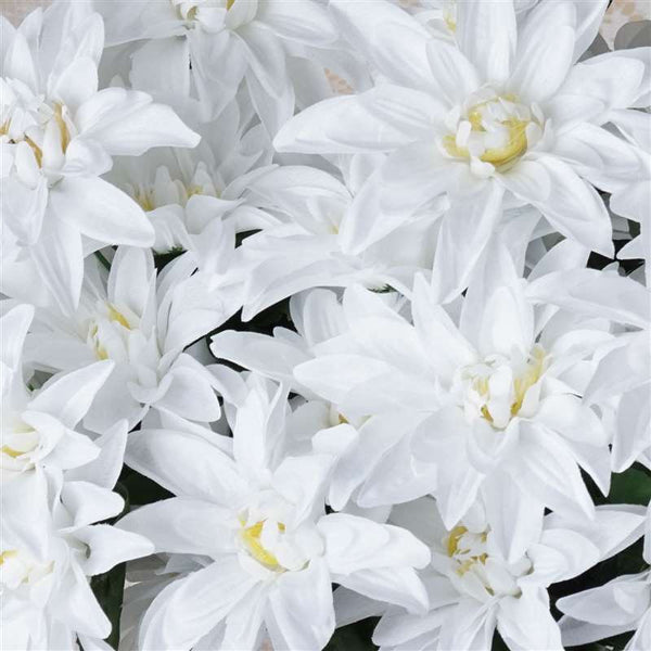 56 Dahlia Bushes - White