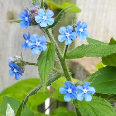 Borage plant & flower